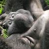 Gorilla trekking Uganda and Rwanda safari tours Kanungu, Uganda Hiking & Trekking