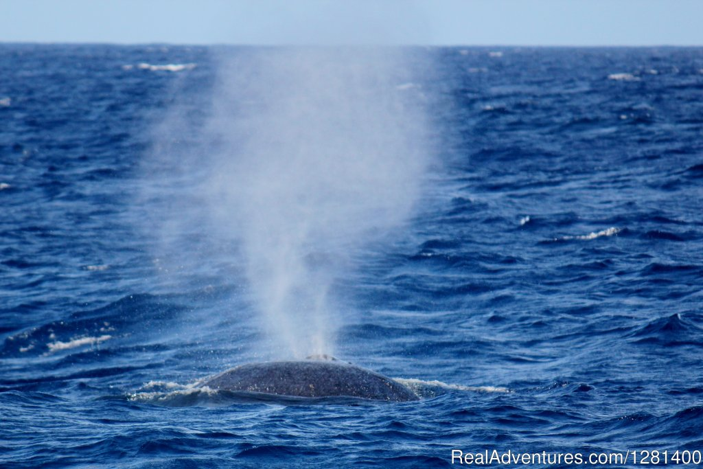 Thar she blows | Image #5/7 | Whale Watching, Swimming with Dolphins, Snorkeling