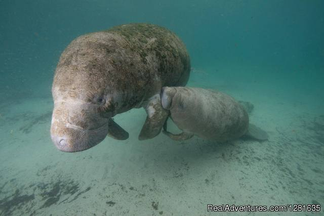Baby Manatee suckling from Mama manatee - Scuba Lessons Inc