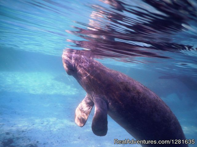 A baby Manatee at Three Sisters Springs - Scuba Lessons Inc