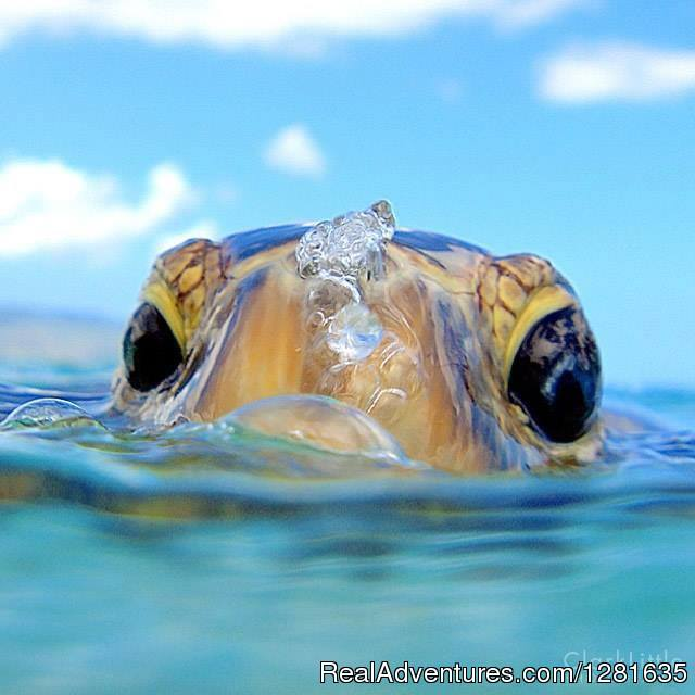 A turtle coming up for air in West Palm Beach, Florida - Scuba Lessons Inc