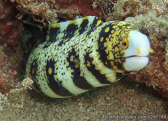 Snowflake Moray Eel - Tiny Bubbles Scuba