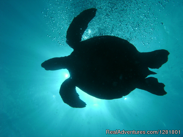 Lots of turtles on Hawaii Eco Divers tours