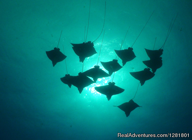 Diving with Rays with Hawaii Eco Diver