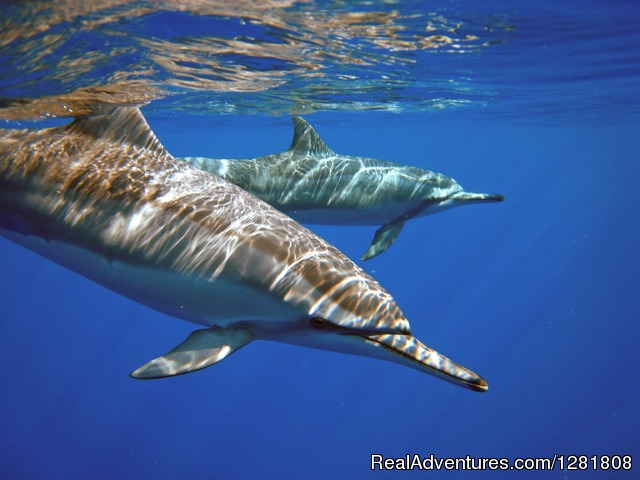 Hawaiian spinner dolphins - Torpedo Tours