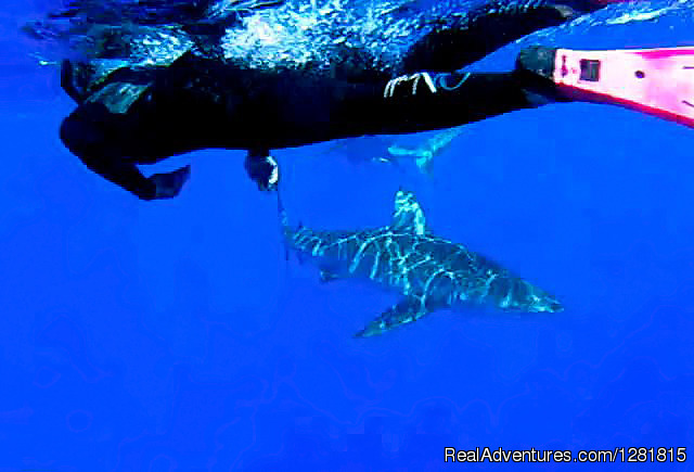 Free Diver Swim with Sharks - H20 Adventures Hawaii Shark Cage Tours & Diving