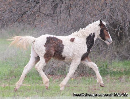 Curly Horses. A unique hypoallergenic horse breed.