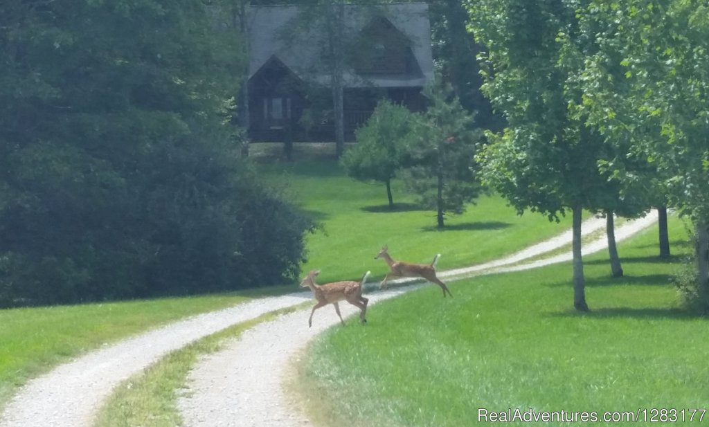 Fawns Frolic in Front of Adventurewood Log Cabin | Image #16/26 | Adventurewood Log Cabin HotTub/Fireplace/PoolTable
