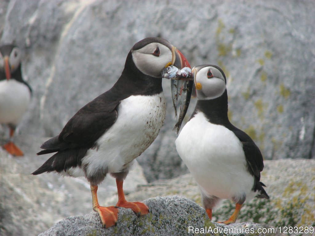 Feedin a baby puffin | Image #2/2 | The Isle au Haut Mail Boat - Puffin Cruises