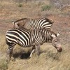 6days Masai Mara,lake Nakuru,amboseli Nairobi, Kenya Wildlife & Safari Tours