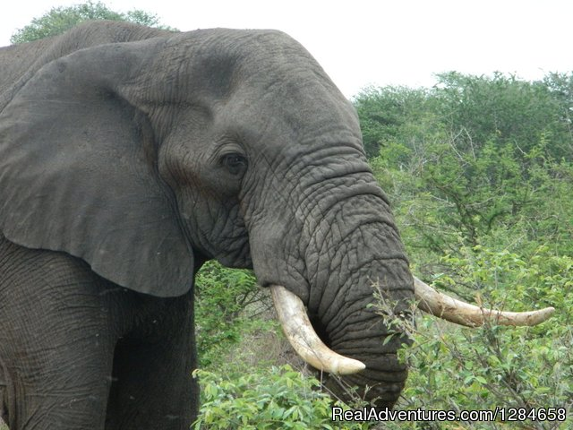 African Elephant - Kruger National Park Game Hotspot Safari's