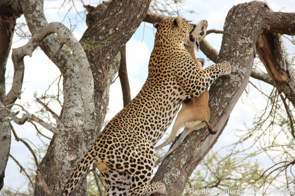 Tanzania is a magical safari paradise with stunning scenery, abundant wildlife and diverse cultures. This amazing safari will take you to unparalleled concentration of wildlife, the Serengeti the is the most famous national park in Tanzania..