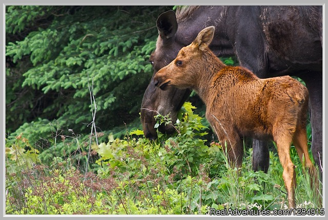 Moose and Calf - Guided Canoe & Kayak Tours into Algonquin Park
