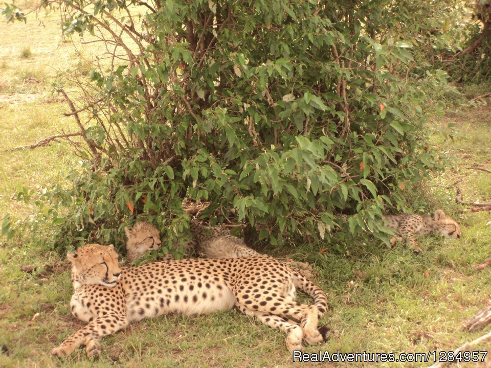 Female Cheetah resting with her cubs in the Mara
