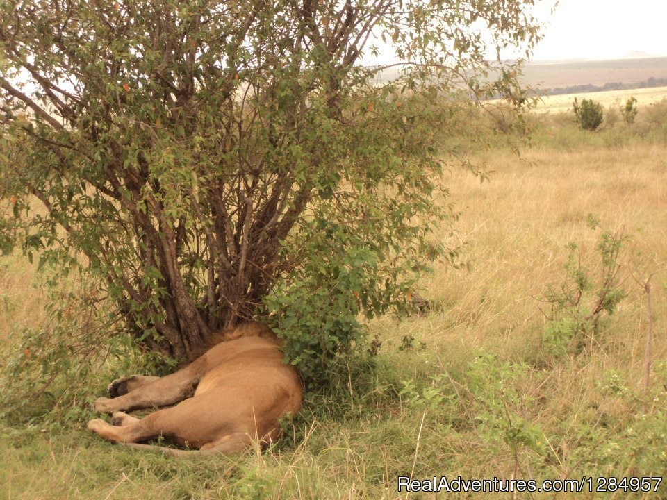 The King of the jungle- King Lion taking a nap in the Mara