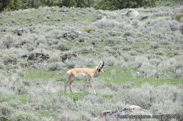 Pronghorn antelope in Yellowstone - Yellowstone Wildlife and Safari Tours
