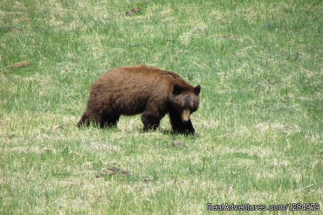 Black bear in Yellowstone - Yellowstone Wildlife and Safari Tours