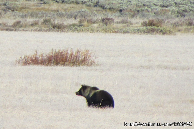 Grizzly bear in Yellowstone - Yellowstone Wildlife and Safari Tours