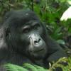 2 day Gorilla tracking in Rwanda