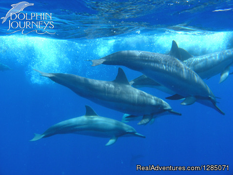 Dolphin Pod - Dolphin Journeys - Kona Coast  Big Island Hawaii