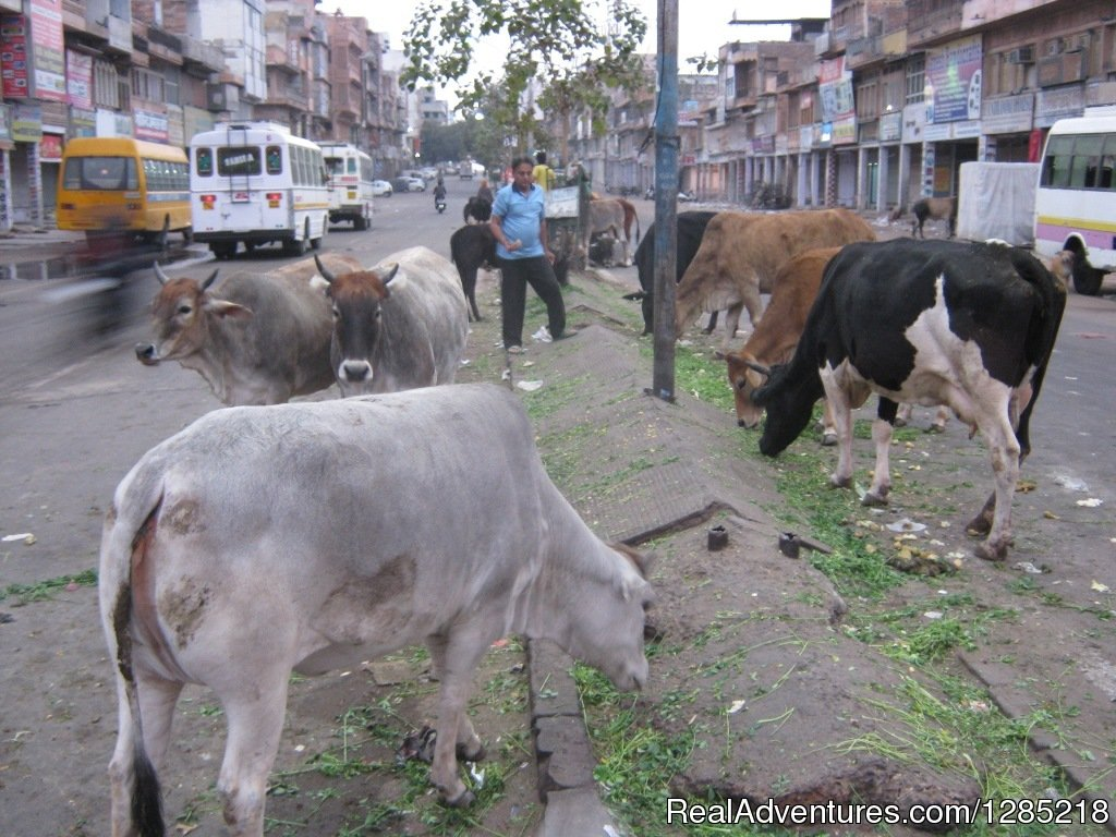 Cows on the road | Image #25/25 | Motorcycle Tours India -Royal Bike Riders