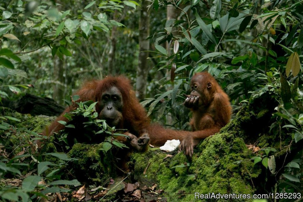 Wila Orang Utan ,in the wild raaain forest | Image #4/7 | 10 Days Leuser National Park Expedition