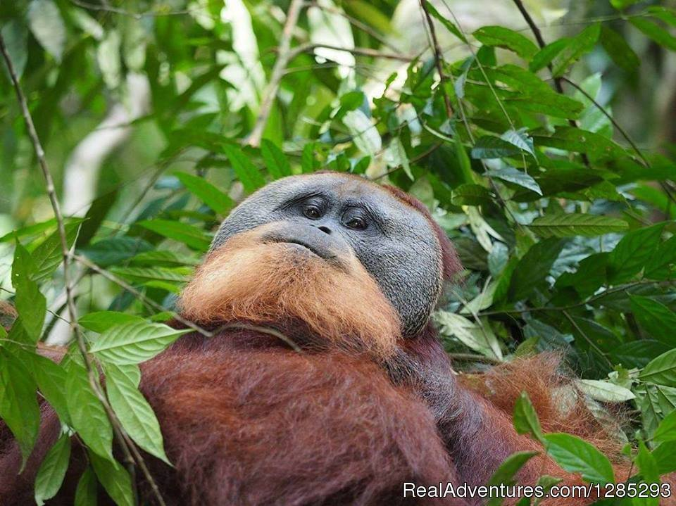 Adult Old Orang Utan Mostly Lk Ugly | Image #6/7 | 10 Days Leuser National Park Expedition