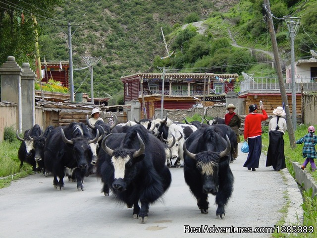 Yaks in the street - Tibet Photo Workshop