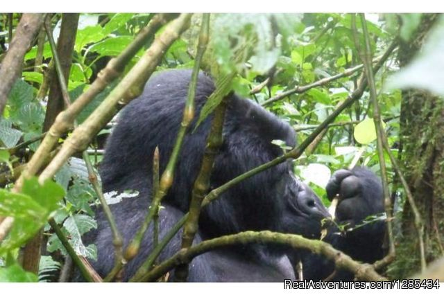 Inspired Gorilla safari & volunteer