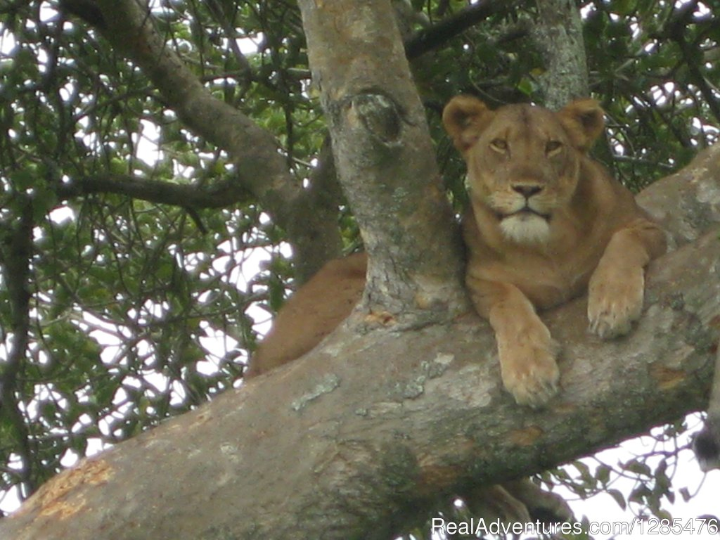 Tree climbing Lions of Ishasha - Queen Elizabeth national pa