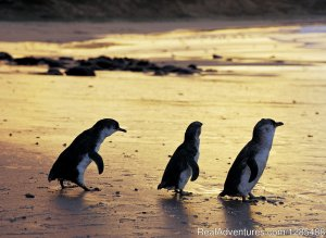 Phillip Island Australia Wildlife Adventure Tours Williamstown, Australia Sight-Seeing Tours