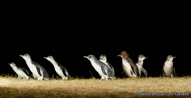 The Penguin Parade - Phillip Island Australia Wildlife Adventure Tours