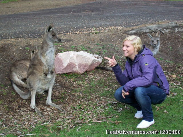 Kangaroos on Phillip Island - Phillip Island Australia Wildlife Adventure Tours