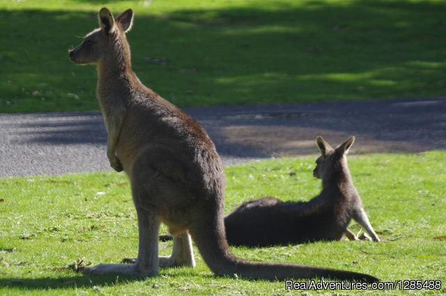 Some Kangaroos - Phillip Island Australia Wildlife Adventure Tours