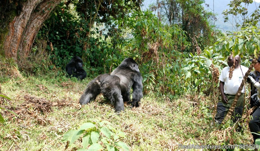 Gorilla tracking day | Image #2/2 | Gorilla trekking safaris