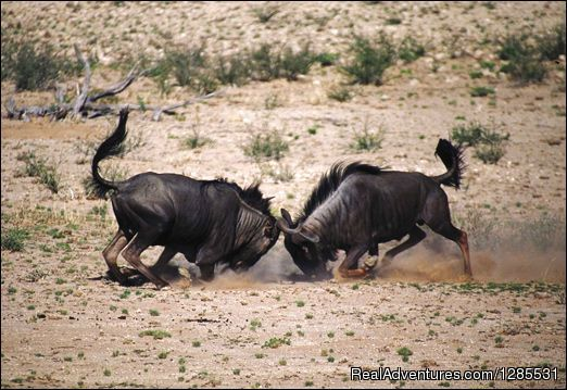 Wildebeest - Conrad's Safaris and Tours