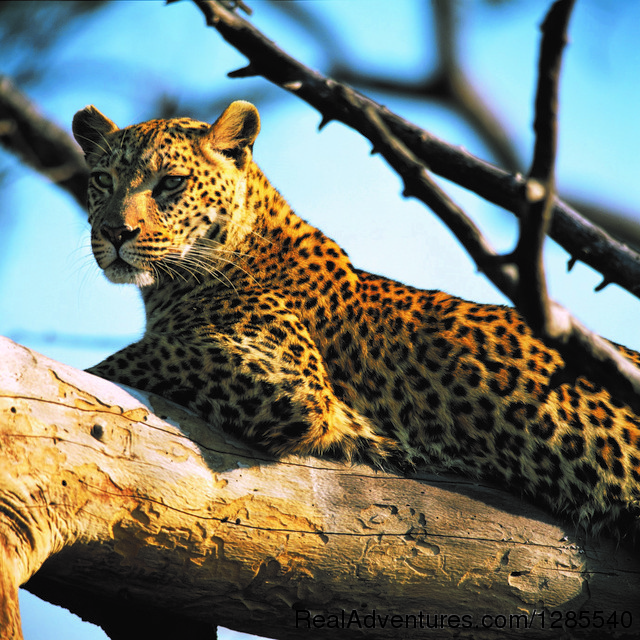 Kruger Park Leopard. - Authentic Kruger Park Safari Experiences.