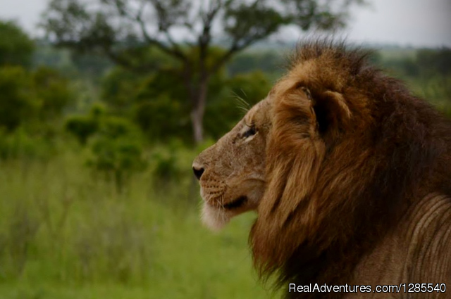 Lion in the Kruger Park - Authentic Kruger Park Safari Experiences.