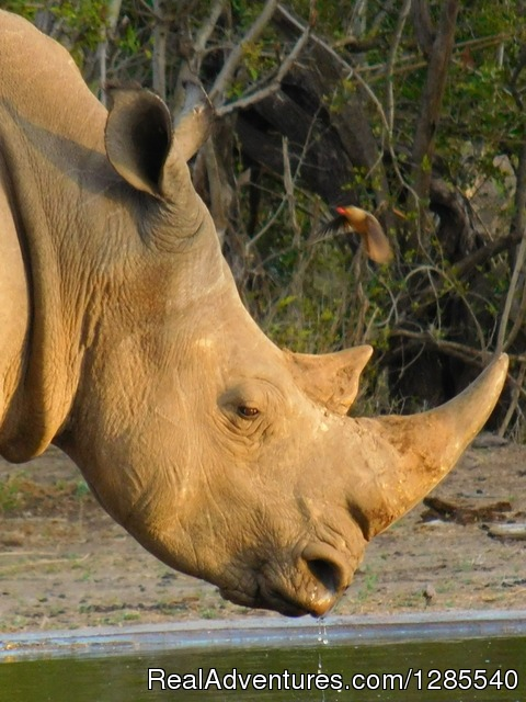 White Rhino in Kruger Park. - Authentic Kruger Park Safari Experiences.
