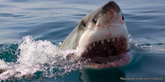 - White shark conservation and research volunteer