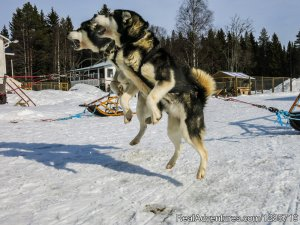 Northern light tour by dogsled in Swedish Lapland. Lycksele, Sweden Dog Sledding