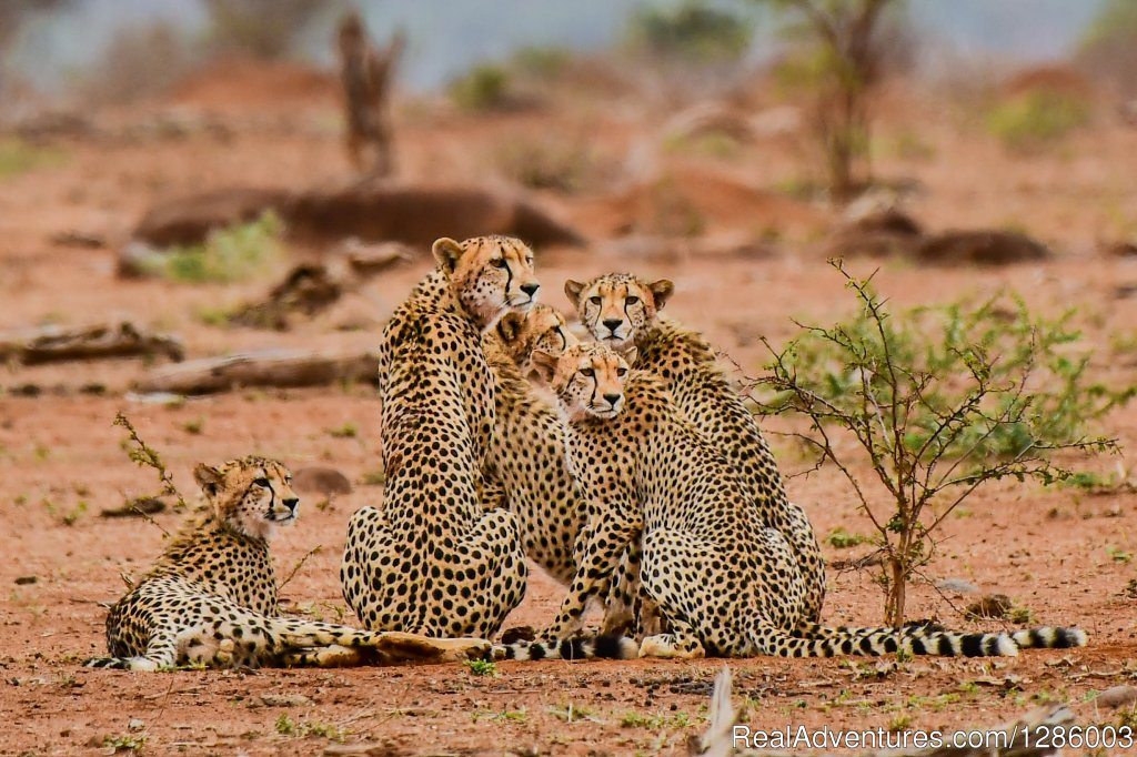 Cheetah Family | Image #2/16 | Private Kruger Park open vehicle safaris