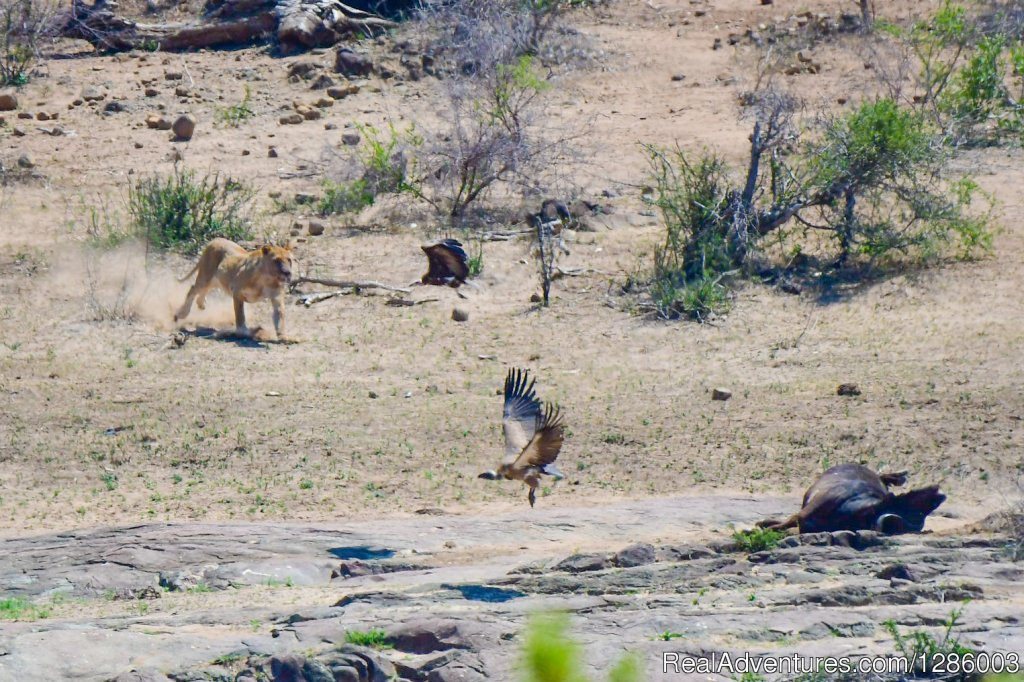Lioness protecting het buffalo kill | Image #3/16 | Private Kruger Park open vehicle safaris