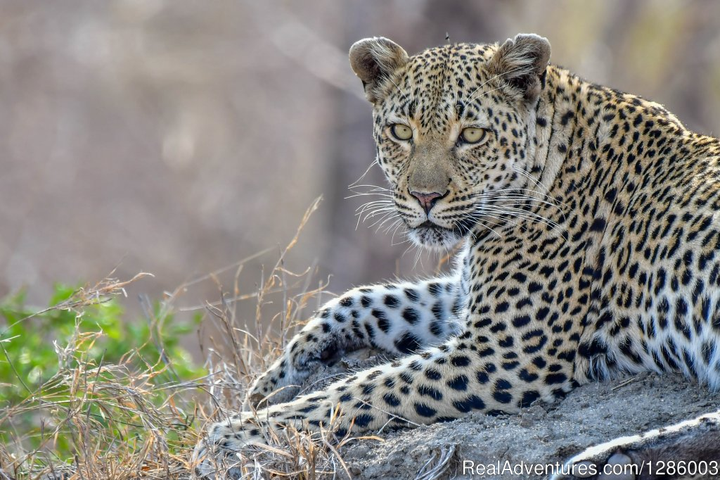 Leopard female | Image #4/16 | Private Kruger Park open vehicle safaris