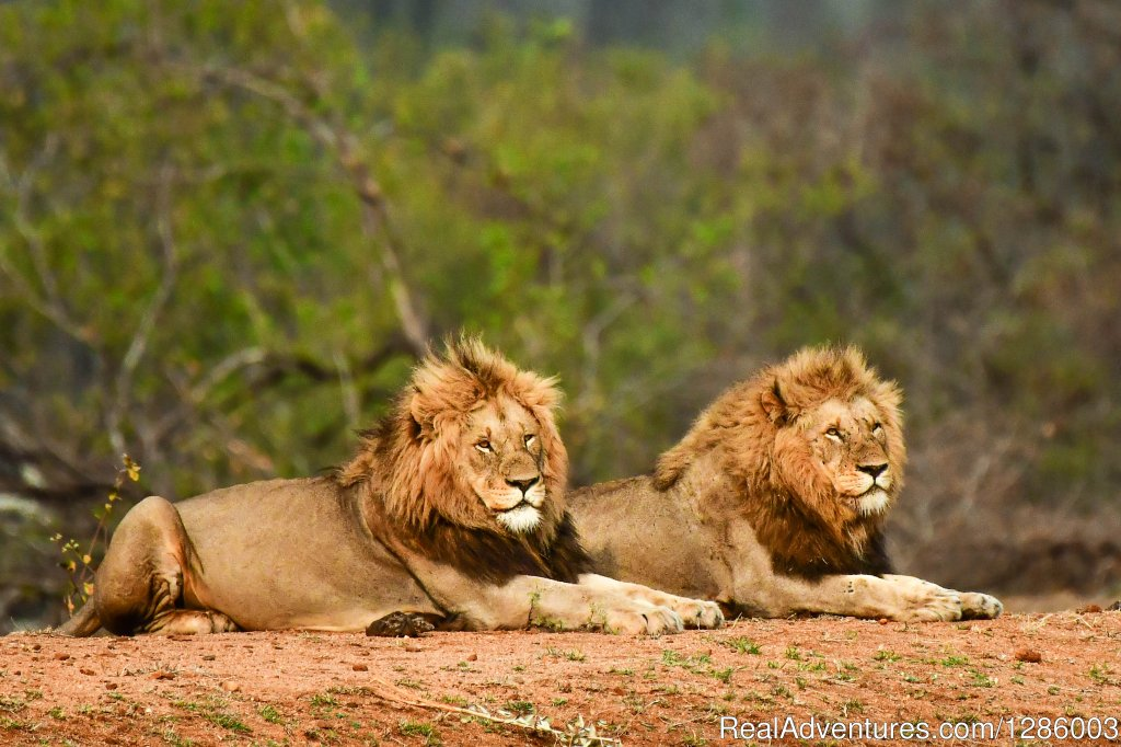 Large male lions of Kruger Park seen on Safari | Image #8/16 | Private Kruger Park open vehicle safaris