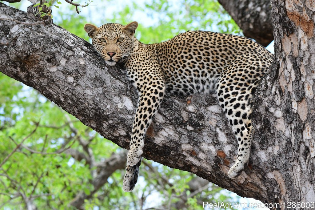 Leopard relaxing in a tree | Image #9/16 | Private Kruger Park open vehicle safaris