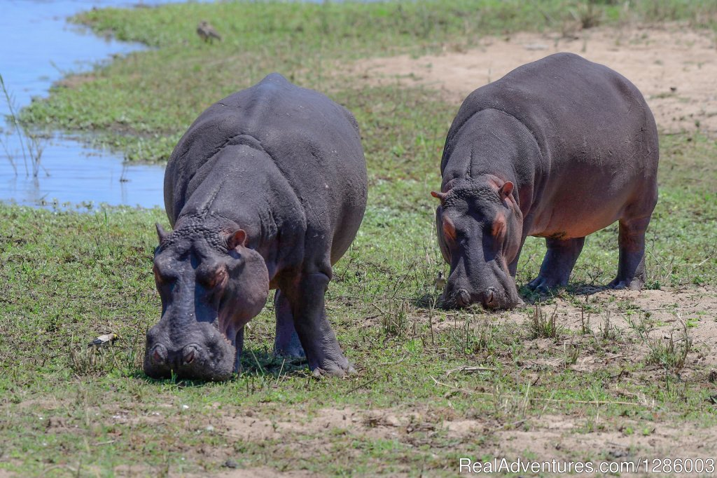 Hippos feeding | Image #15/16 | Private Kruger Park open vehicle safaris
