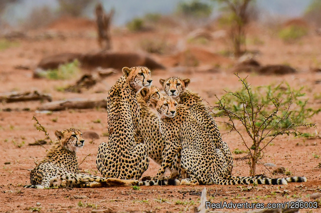 Cheetah Family - Private Kruger Park open vehicle safaris