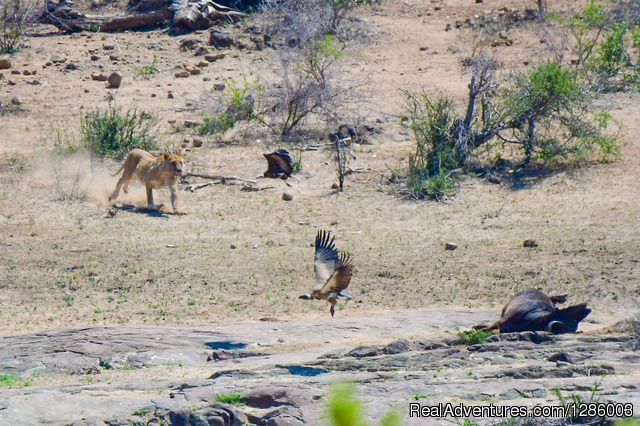 Lioness protecting het buffalo kill - Private Kruger Park open vehicle safaris