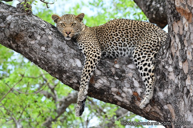 Leopard relaxing in a tree - Private Kruger Park open vehicle safaris